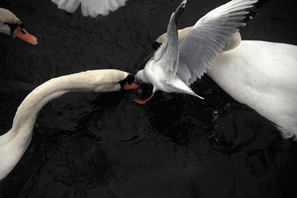 Κύκνοι στη Λίμνη του Χορού/ φωτό: Σπύρος Τσακίρης