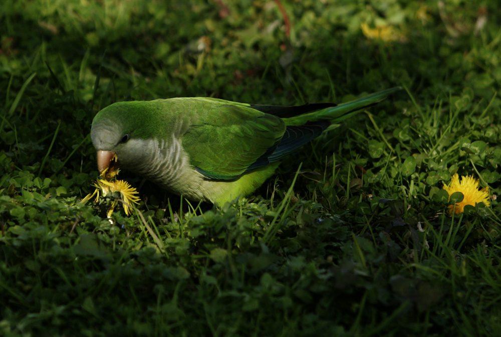 papagaloi-16