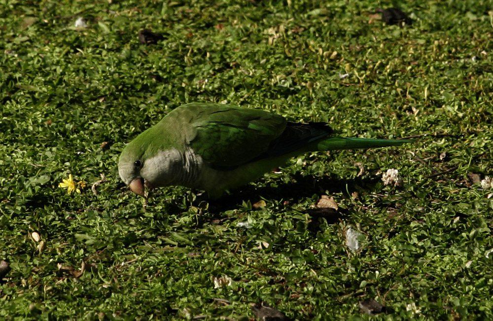 papagaloi-2